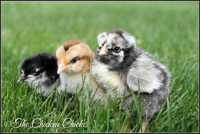 Spanish chick, Dorking chick & Silver Laced Wyandotte chick