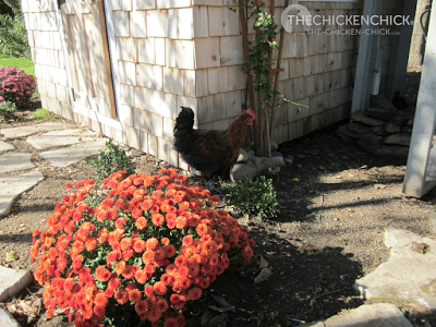 These mums were beautiful for about a week until the chickens took turns standing IN THEM