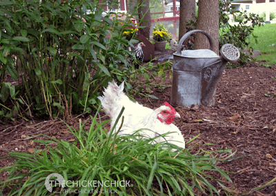 Windy, my crooked toe Blue Splash Marans, taking a break from the hard work of pecking and scratching.