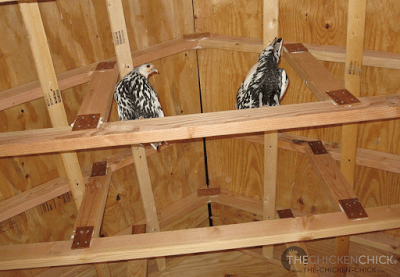 Silver Spangled Hamburgs enjoying the view from the rafters. But not for long, sorry ladies!