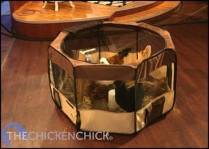 Puppy playpen makes a great temporary chicken house
