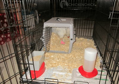 Dog crates or rabbit hutches make great temporary quarters for small flocks. Wooden pallets can be used to create a makeshift pen indoors. A tarp on the floor of a bathroom, covered with pine shavings can serve as a temporary holding area. Even cardboard boxes can be used as temporary crates.