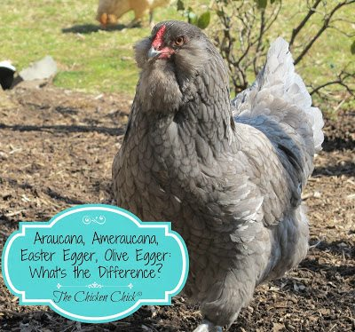 The differences between an Araucana, Ameraucana, Easter Egger,Americana, Rainbow egg Layer, Olive Egger Chickens explained.