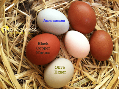 Americauna Chicken Eggs Araucana Ameraucana Or Easter Egger What S The Difference araucana ameraucana or easter egger