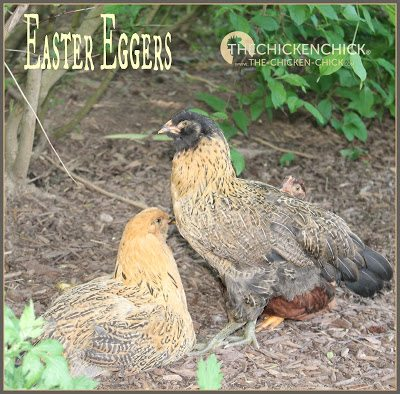 Araucana Ameraucana Or Easter Egger Whats The Difference