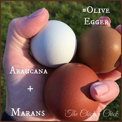 Araucana + Marans = Olive Egger via The Chicken Chick®