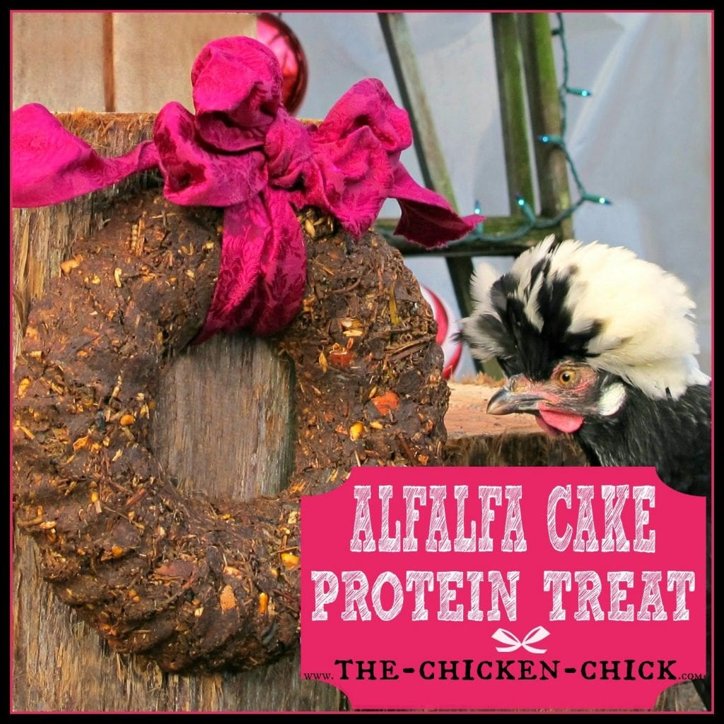 Homemade Alfalfa cake protein treats are a great supplement to a molting chicken's diet.