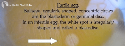 Fertile egg identified by the blastoderm or germinal disc with regularly shaped, concentric circles, a bullseye appearance
