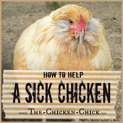 How to help and care for a sick chicken