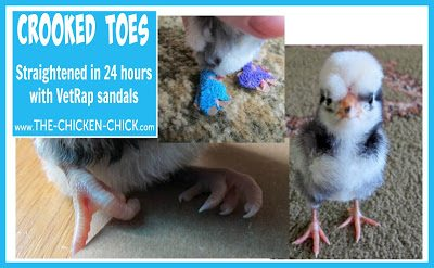 Polish chick with crooked toes. Straightened in 24 hours with Vetrap. via The Chicken Chick®