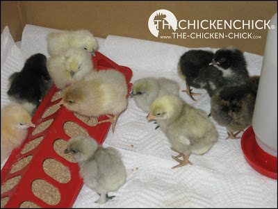 Chicks require a flooring surface that is safe for walking on and absorbent. I recommend paper towels over puppy training pads for the first 5-7 days.