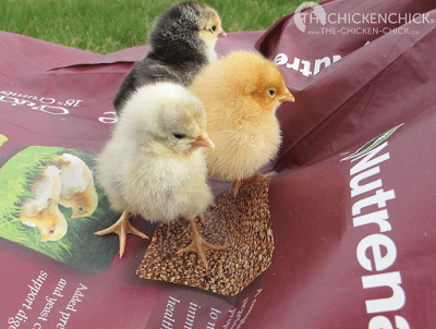 Dark chick=Columbian Wyandotte, the chick in front is a White Orpington and the other is a Buff Orpington.