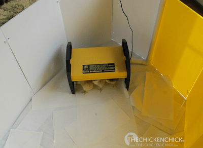 The chicks adapted naturally to the EcoGlow Brooder. I got a chance to try out my new, Happy Hen Deluxe Chick Corral and I love it. It's huge and a breeze to set-up.