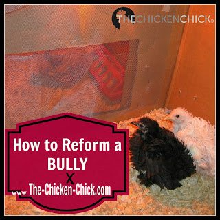 When chickens of any age bully other chickens, the behavior must be interrupted and the bully, reformed.