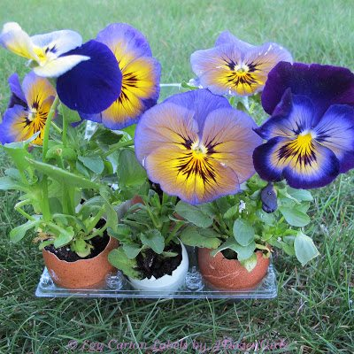 To plant the flowers, crush the shell gently and plant it in the ground. The shell serves as a natural fertilizer.