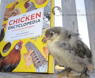 """According to Gail Damerow in The Chicken Encyclopedia, adding diatomaceous earth, wood ashes or lime-and-sulfur garden powder to their dust bath is hazardous to their respiratory health and should be avoided unless they are """"seriously infested"""" with parasites. Even in that case, she writes, """"the benefit may outweigh the danger of TEMPORARILY adding such materials."""" (p. 93 emphasis added)"""