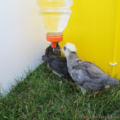 Poultry nipple waterer hanging in their Chick Corral outside.