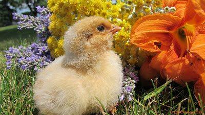 www.the-chicken-chick.com