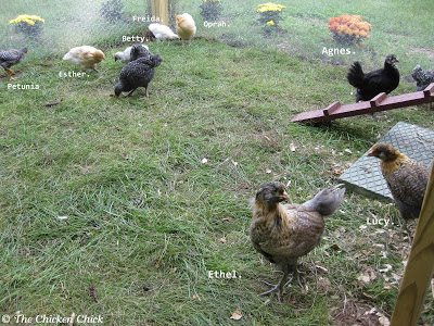 Week two, open the pop door and allow them to venture out into the run if they wish, but do not interfere if they would rather not. In the unlikely event they do not return to the coop at dusk that first night, they need more time confined to the coop. In another week, try again.