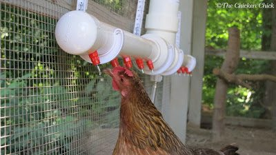 Bantam Welsummer using The Chicken Fountain Poultry Nipple Watering System