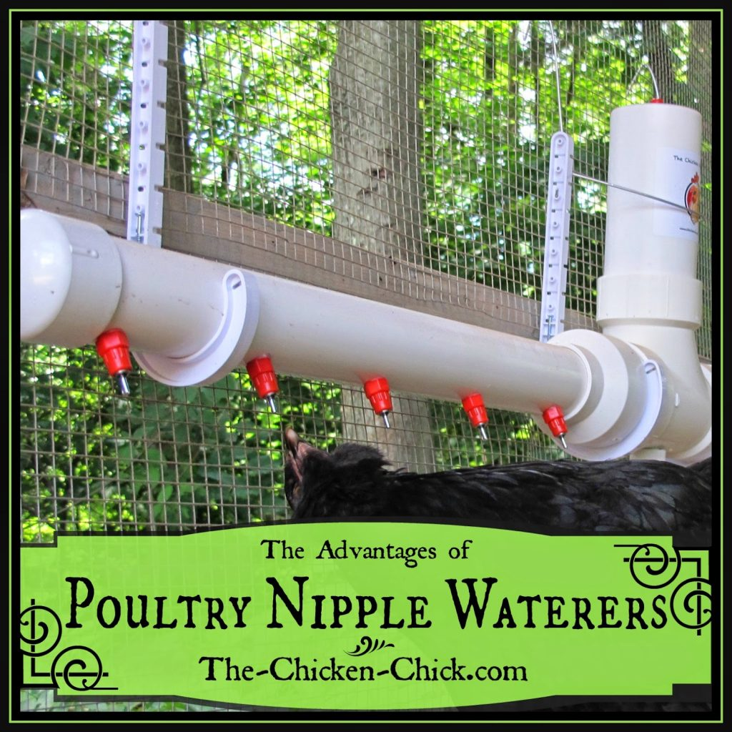 Clean Water Advantages Of Poultry Nipple Waterers For Chickens