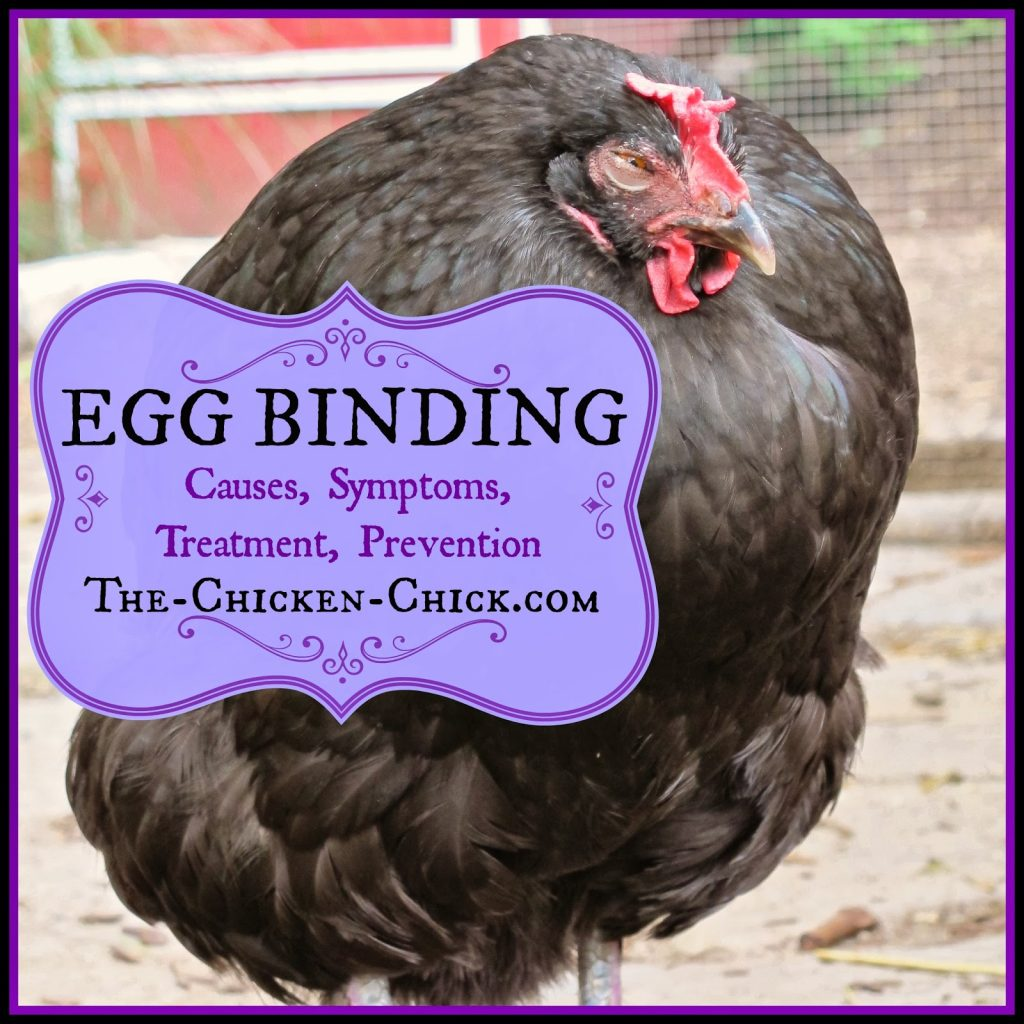 When a hen has an egg stuck inside her oviduct, she is referred to as being egg-bound. Egg-binding can be a life-threatening condition that must be addressed quickly, preferably by a seasoned, chicken veterinarian. If the egg is not passed within 24-48 hours, the hen is likely to perish. Absent access to a vet, backyard chicken-keepers may have to take matters into their own hands in order to save the hen's life.