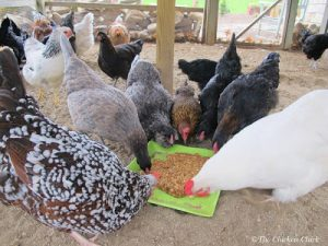 Looking for healthy, homemade treat recipes? Look no further! This Flock Block Substitute is a healthy treat, containing lots of nutrition-packed ingredients that chickens need to make nutritious eggs, strong eggshells and beautiful feathers!