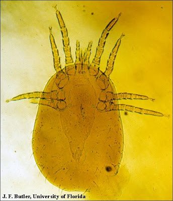 Northern fowl mite, photo by J.F. Butler, University of Florida