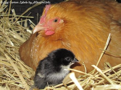 Black Copper Marans chick, Buff Orpington surrogate mama