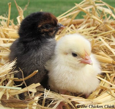 my favorite photos of baby chicks the chicken chick