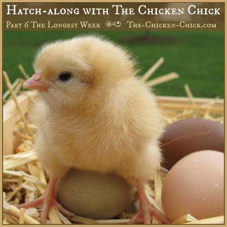 Hatch-along with The Chicken Chick, Part 6