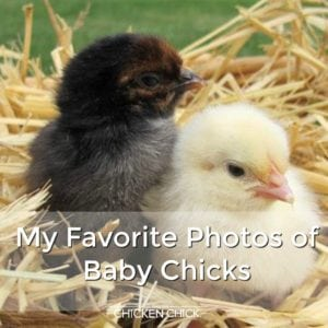 My Favorite Photos of Baby Chicks