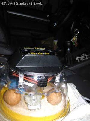 Incubator being kept warm in my car.