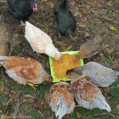 My chickens love pumpkins, so whether or not there are any digestive tract benefits, they will be treated with this nutritious snack because they enjoy it. Here is my recipe for Peeps' Pumpkin Pie; I hope you try it and that your flock enjoys it as much as mine does!