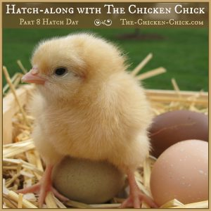Hatch along with The Chicken Chick, Part 8
