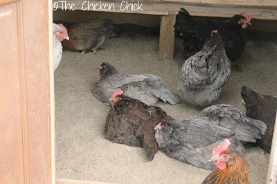Sand as litter in the chicken coop looks cleaner than other litter option and is cleaner!