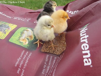 Most new chicken-keepers wonder at what age a chick can be given treats, but there is no specific age at which it is appropriate. Chicks are tiny and treats will replace a percentage of the nutrition in starter ration that their rapidly-growing bodies require. Common sense should be the guide; small, healthy treats on occasion.