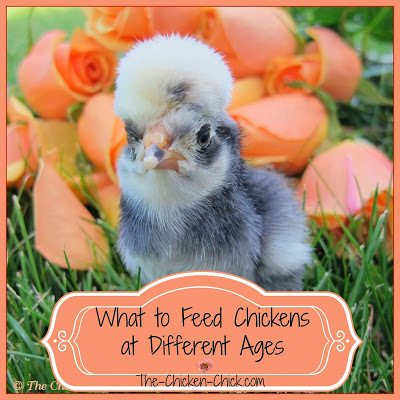 Feeding Chickens At Different Ages The Chicken Chick