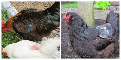 Chicken diapers and saddles | Feather loss on hen's back due to rooster treading & hen apron being modeled.