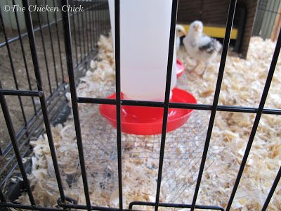 Brooder water riser for baby chicks.