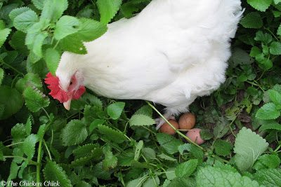 Free-range or pasture-raised hens may fall into the unwelcome habit of laying eggs outside the coop in secluded locations.