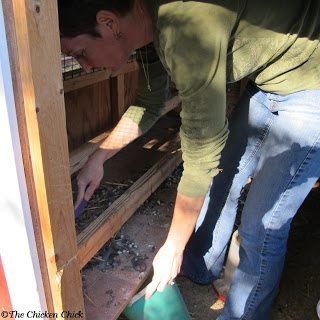 Cleaning the droppings board in the chicken coop.