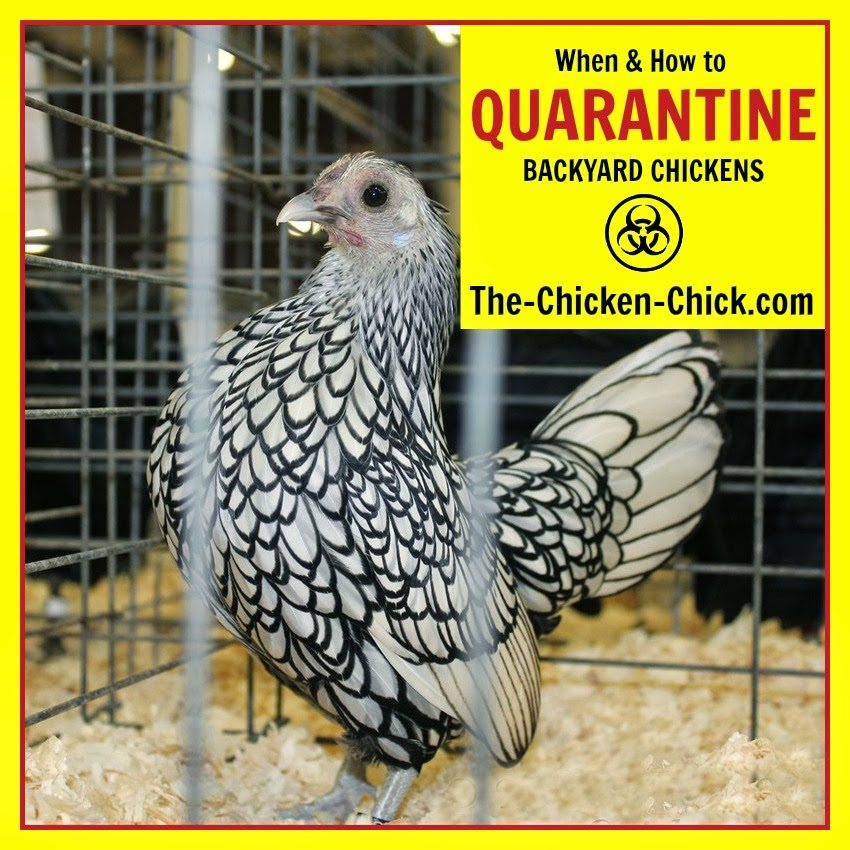 "Given the inclination of backyard chicken keepers to add chickens to their existing flocks, also known as ""chicken math,"" it is extremely important that proper quarantine procedures are followed when bringing new flock members home. Failure to quarantine new flock members can result in the death of an entire flock of chickens."