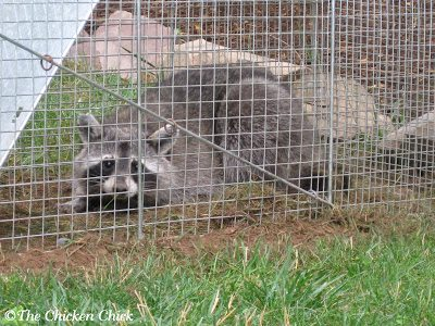 Various predators can be responsible for egg theft including: raccoons, rats, snakes, opossums and skunks. Coops should be secured with hardware cloth to ensure that nocturnal predators cannot gain access to the birds at night when they are most vulnerable.
