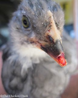 I once discovered a three week old Olive Egger hiding in a nest box with the front portion of her upper beak missing. The blood was bright red, which indicated the injury had occurred very recently. There was no debris on the tissue and no apparent injury to the tissue itself, so I immediately applied Vetericyn Wound and Infection hydrogel spray to clean it and kept her apart from the flock for several days until the tissue was no longer reddened and had begun to recede slightly.