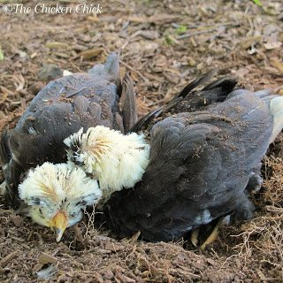My baby Polish Crested chickens, enjoying a nice, mulch dust bath.