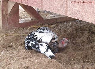 Winter dust bath in the sand, under the coop. As long as the sand stays dry it will remain loose and good for dust-bathing all year.