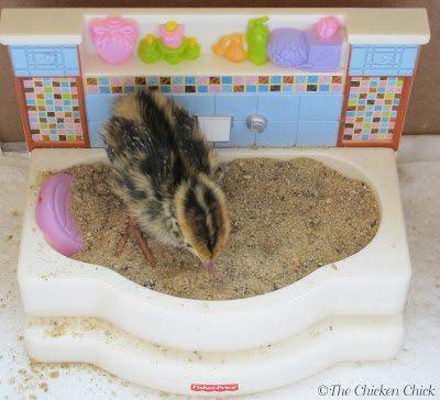 This is a baby quail. Quail enjoy dust baths as much as chickens!