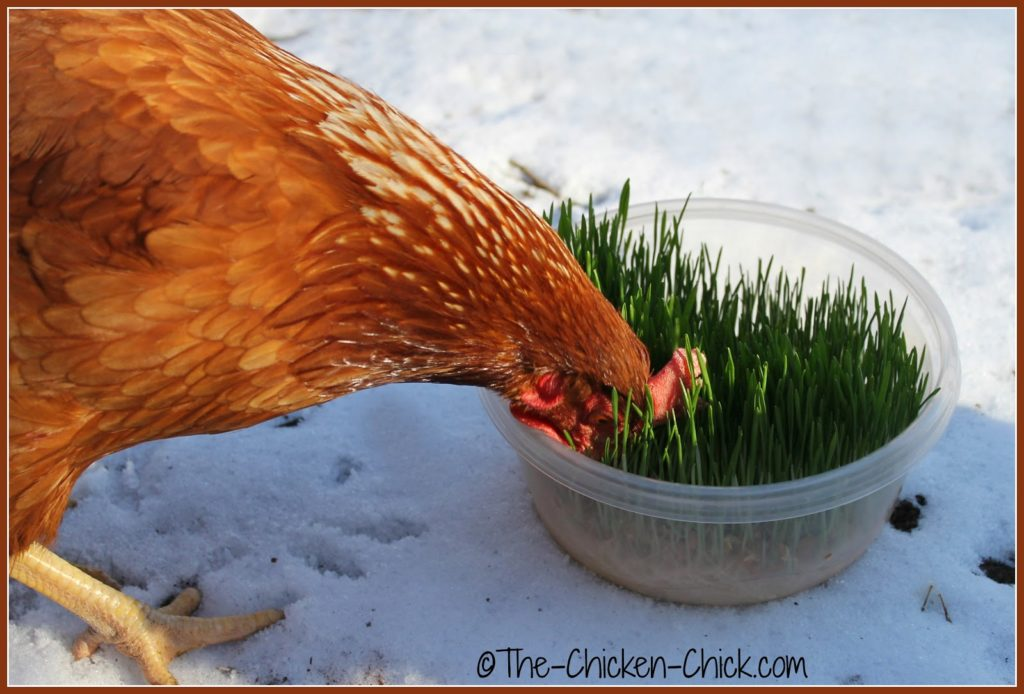 Growing sprouts is a great way to create a foraging opportunity for chickens.