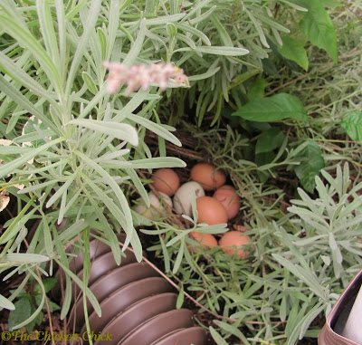 If aromatherapy is the only natural benefit to placing herbs in my chicken coops, I'm fine with that, however, aromatherapy may not be the end of the herbal story.